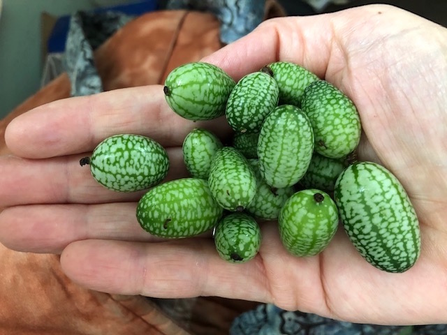 MexicanSourGherkins1