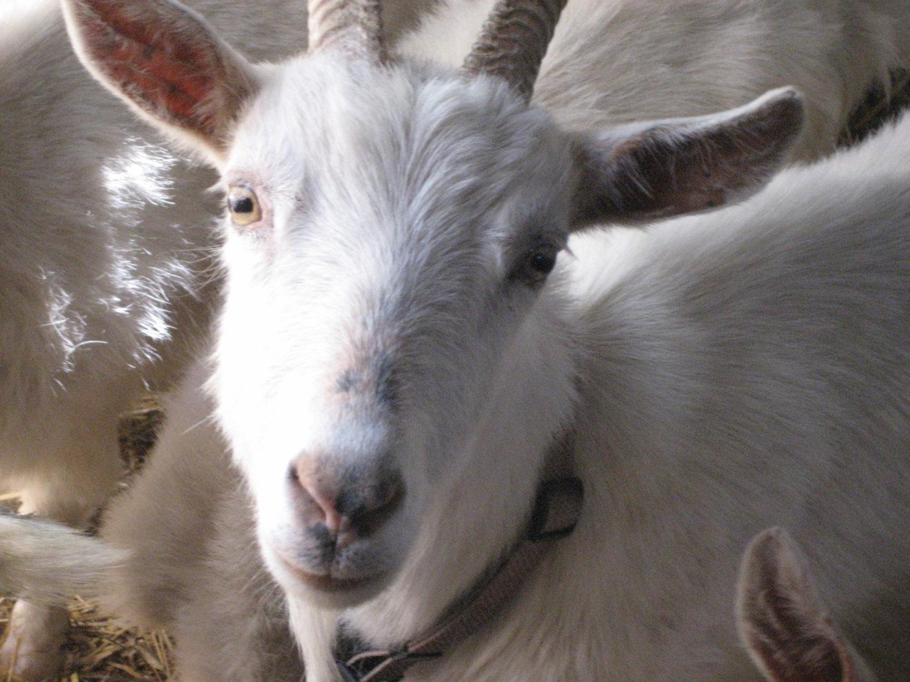 z goats 2
